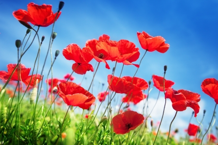garden scenery: Poppy flowers on field and sunny day