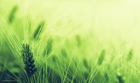 planta de maiz: campo de trigo verde