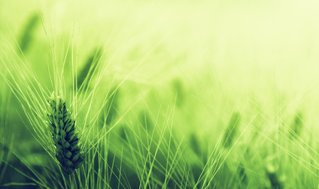 green wheat field  Stock Photo - 25908978