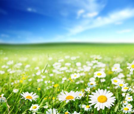 paisajes: campo de Margarita flores
