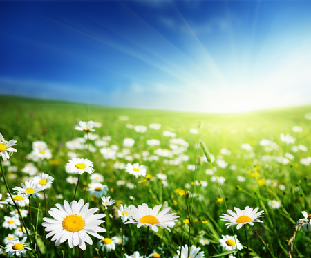 spring flowers: field of daisy flowers