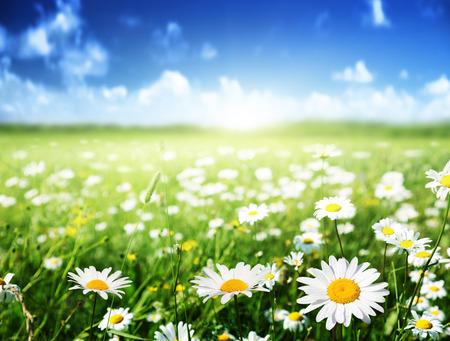 field of daisy flowers photo