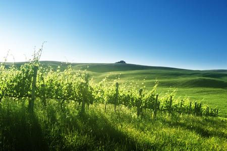 sunset  on vineyard  Tuscany, Italy photo