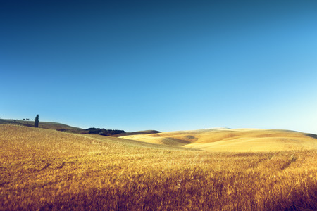 field of barley in Tuscany, Italy  photo