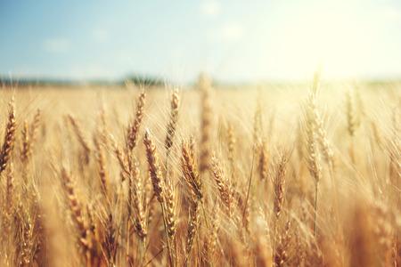 黄金の麦畑と晴れた日 写真素材