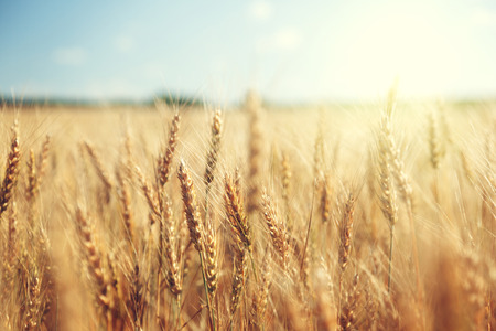 golden wheat field and sunny day Фото со стока