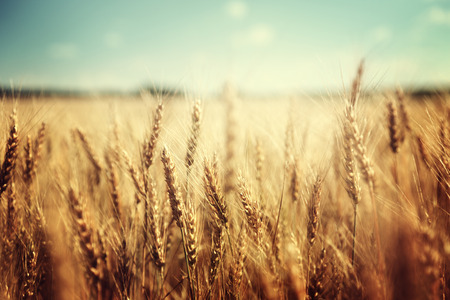 harvest: golden wheat field and sunny day Stock Photo