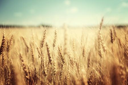 ensolarado: campo de trigo dourado e dia ensolarado