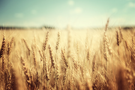 blue sky and fields: golden wheat field and sunny day Stock Photo