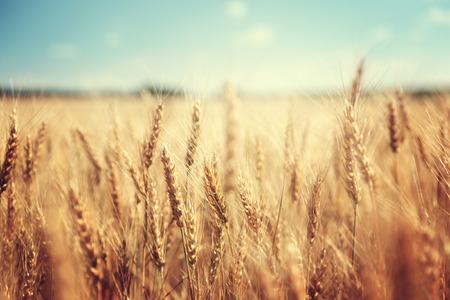 cosecha de trigo: campo de trigo dorado y el d�a soleado