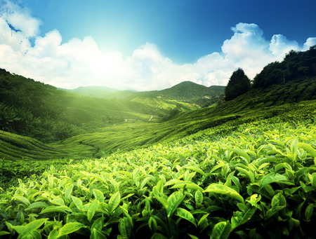 leaves green: Tea plantation Cameron highlands, Malaysia Stock Photo