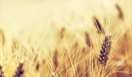 Campo di grano Archivio Fotografico - 35712464