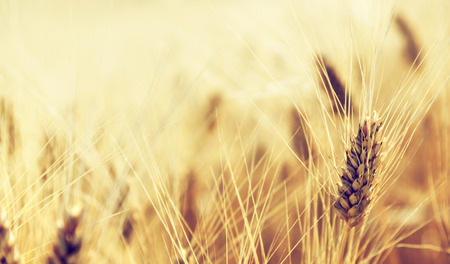 grain fields: Wheat field