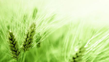 barley field Stok Fotoğraf - 36824941