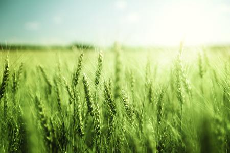 グリーン麦畑と晴れた日