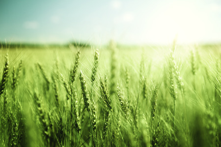 cereal: green wheat field and sunny day