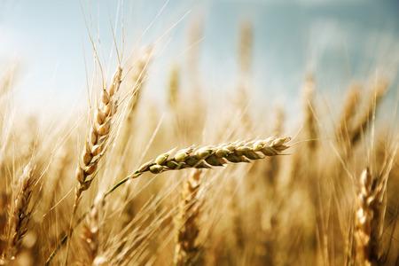 autumn sky: golden wheat field and sunny day Stock Photo
