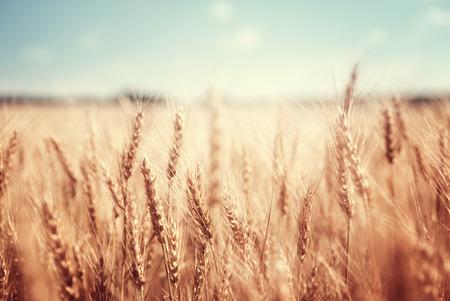 cosecha de trigo: campo de trigo y d�a soleado
