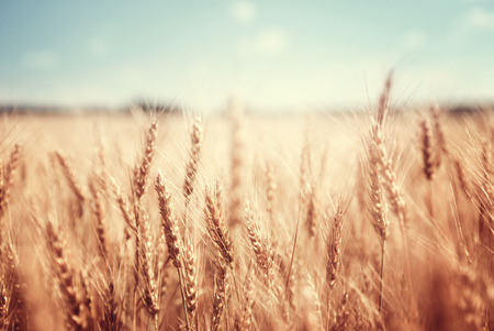wheat: wheat field and sunny day