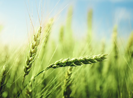 cosecha de trigo: campo de trigo verde y el d�a soleado