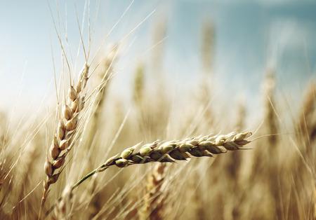 gouden tarwe veld en zonnige dag