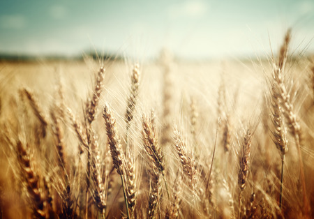 barley field: golden wheat field and sunny day Stock Photo