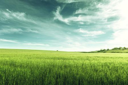 field of barley Banco de Imagens