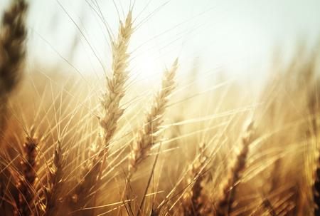 Campo di grano dorato e giornata di sole Archivio Fotografico - 39087194