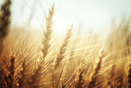 summer field: golden wheat field and sunny day Stock Photo