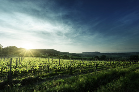 winery: Vineyard in Tuscany, Italy Stock Photo