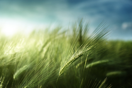 barley seeds: barley field in sunset time Stock Photo