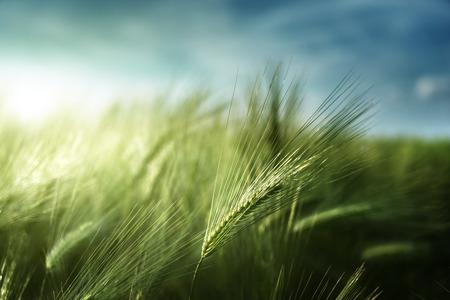 barley field in sunset time Foto de archivo