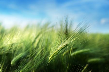 barley field in sunset time Stockfoto