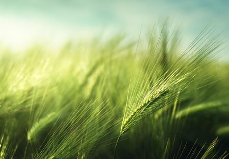 日没時間の麦畑 写真素材