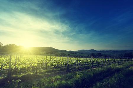vineyard at sunset: Vineyard in Tuscany, Italy Stock Photo