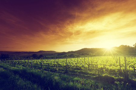 vineyard: Vineyard in Tuscany, Italy Editorial