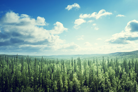 tree  forest: fir tree forest in sunny day