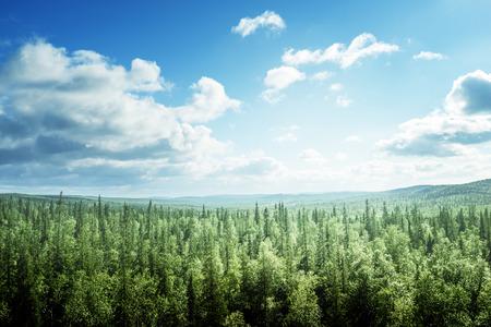 화창한 날에 전나무 나무 숲
