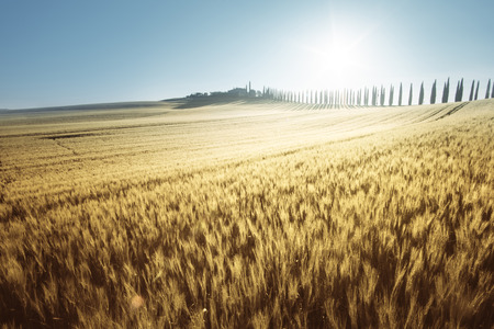 yellow field of wheat and farm house, Tuscany, Italy