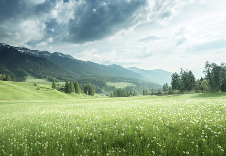 field of spring dandelions in Dolomites, South Tyrol, Italy Stock Photo
