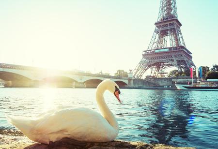 white swan and Eiffel tower, Paris. France