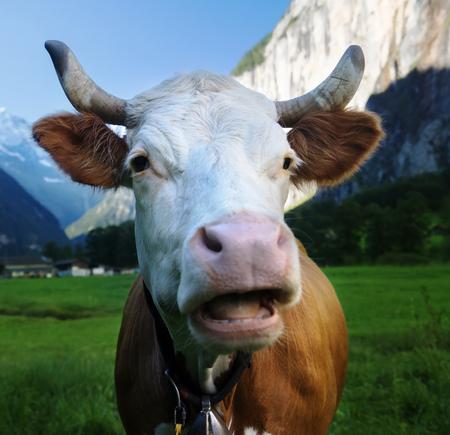 Cow on Alps. Jungfrau region, Switzerland Stock Photo