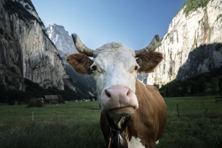 Cow, Alps. Jungfrau region, Switzerland Stock Photo