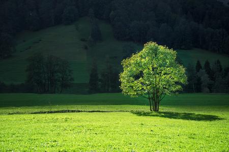 tree on mountain field, Lauterbrunnen, Switzerland