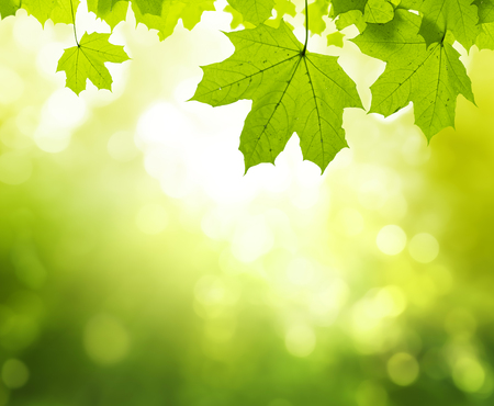 Maple leaves in summer forest 스톡 콘텐츠