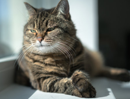 serious cat relaxed on the window Stock Photo
