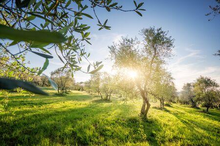 Olive tree garden in Tuscany, Italy