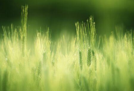barley field in sunset time Фото со стока