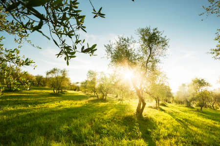 Olive trees garden in Tuscany, Italy Zdjęcie Seryjne