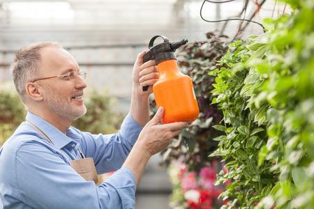 sprinkling: Experienced senior florist is sprinkling plants with water.